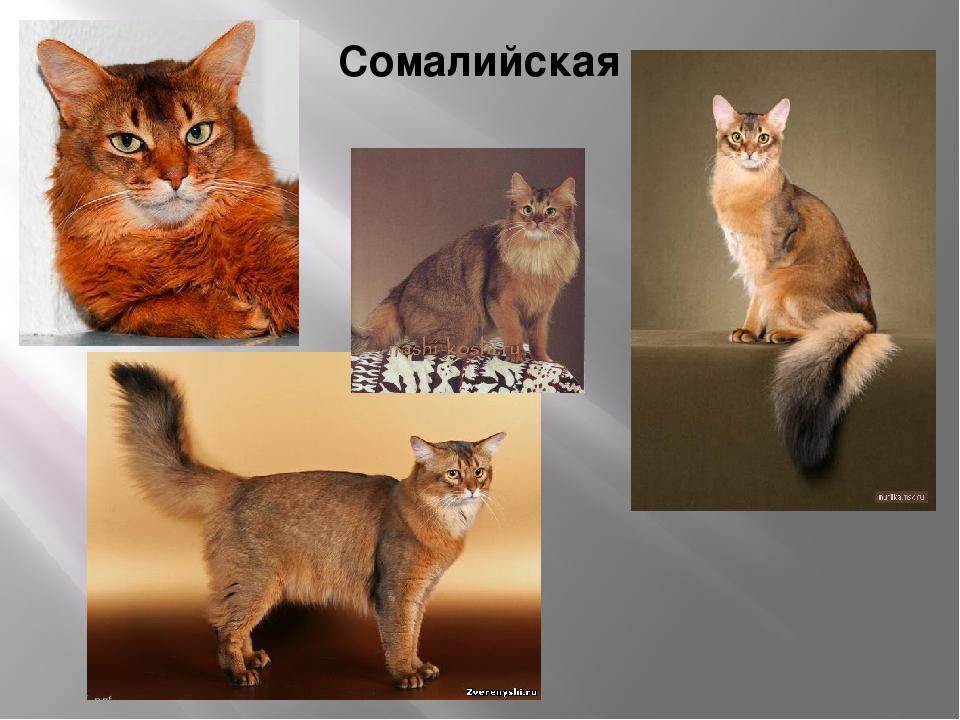 Гималайская кошка — особенности и характеристика породы, поведение и темперамент кошки, 62 фото