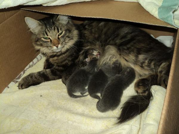 В каком возрасте кошки перестают рожать котят?