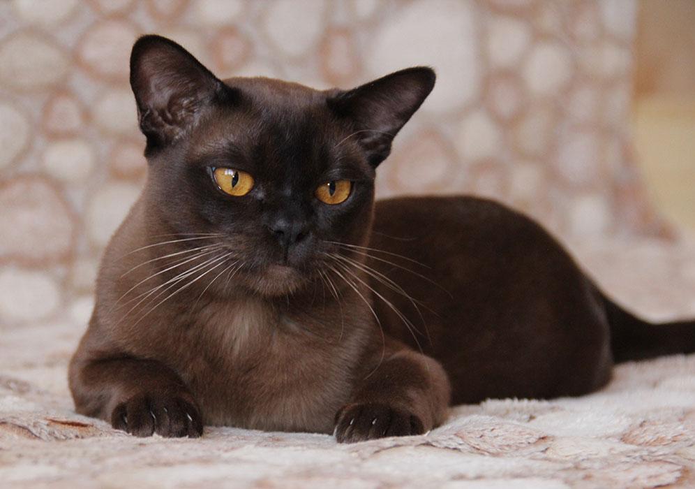 Бурманская кошка (66 фото): описание короткошерстных котят породы бурма. описание котов лилового и соболиного, черного и других окрасов. отзывы владельцев