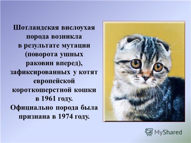 Британская короткошерстная кошка — особенности ухода за кошкой, ее окрасы, подбор правильного питания (110 фото)
