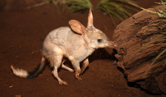 Дикобразы (hystricidae): интересные факты о диких животных, ареал обитания, что едят, сколько живут, враги, фото