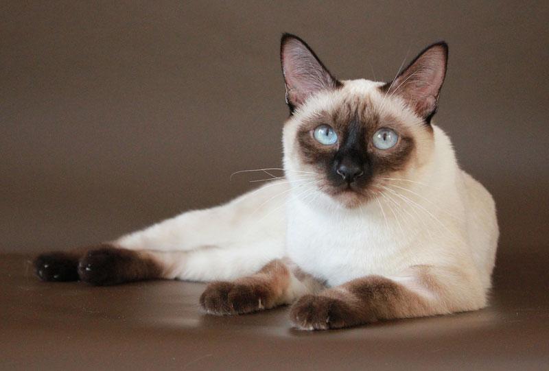 Тайский бобтейл — 130 фото, цена, характер, особенности и описание породистых кошек