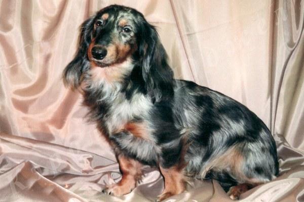Описание породы собак мраморная такса: характер, уход, предназначение