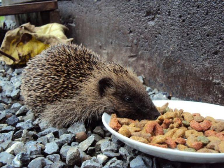 Чем кормить ежа в домашних условиях? чем кормить маленьких ежат? :: syl.ru