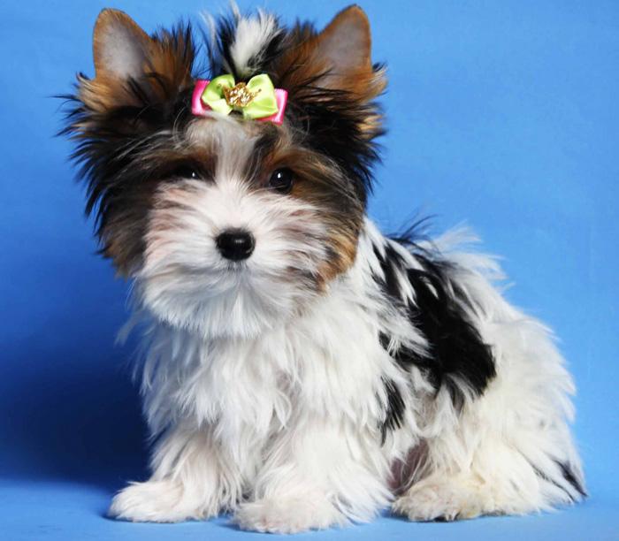 Собака бивер йоркширский терьер. чем отличается милый аристократ от всем привычной породы