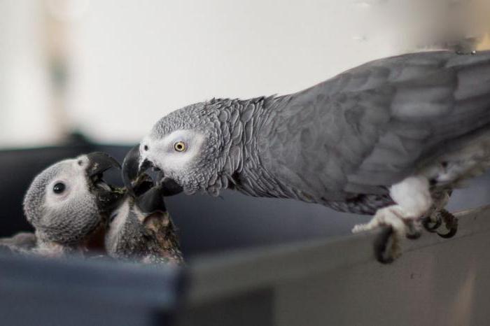 Жако, или серый попугай | мир животных и растений