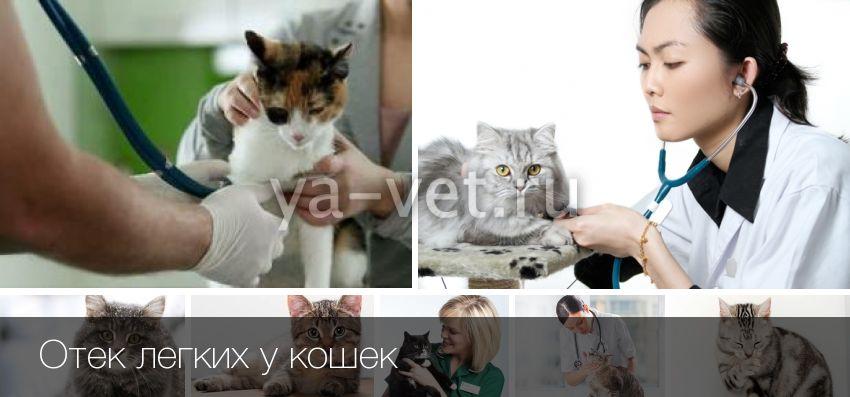 Микоплазмоз у кошек симптомы и лечение, фото | микоплазмоз у кошек опасность для других кошек