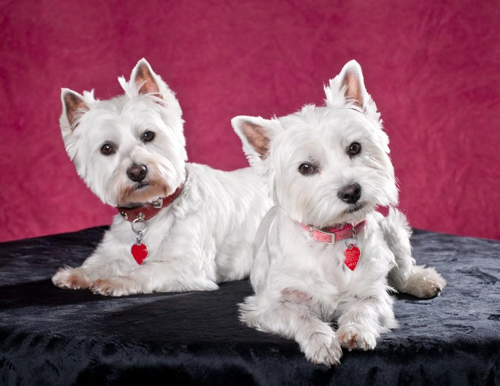 Вест-хайленд-уайт-терьеры-прирожденные охотники домоседы ⋆ собакапедия
