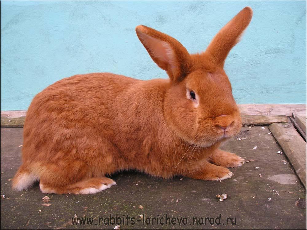 Кролики новозеландской породы: содержание и уход