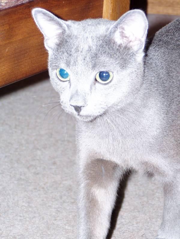 Как определить русского голубого кота: 12 шагов