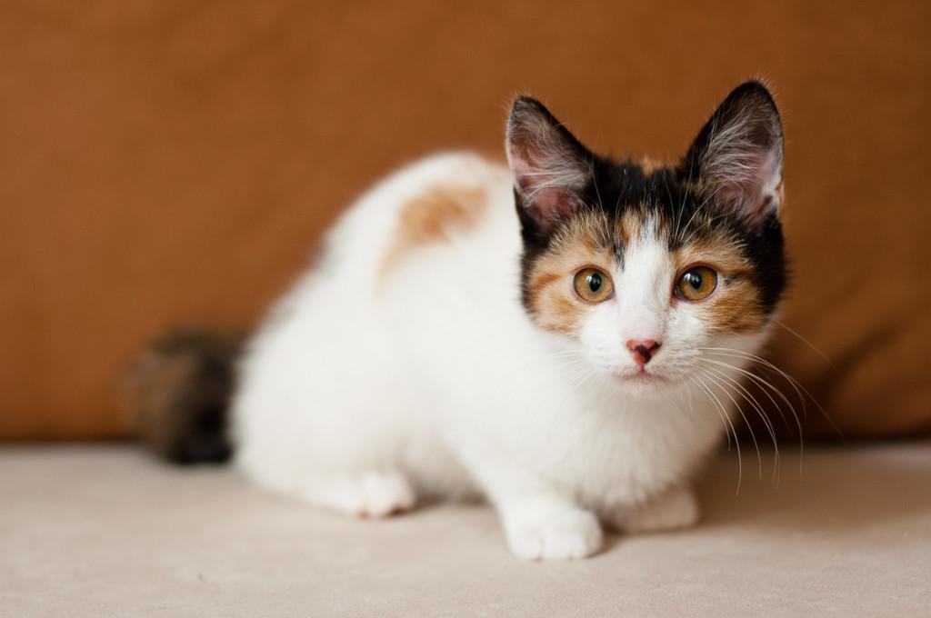 Трехцветная кошка в доме: приметы