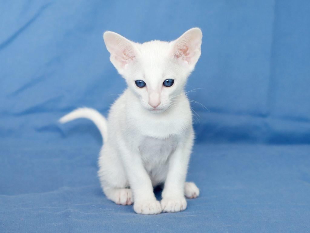 Особенности содержания белой кошки: плюсы и минусы
