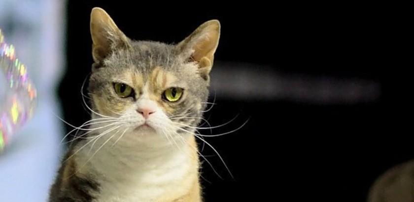Американская жесткошерстная кошка: большой обзор породы с фото и видео