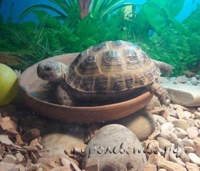Как ухаживать за сухопутной черепахой, в домашних условиях