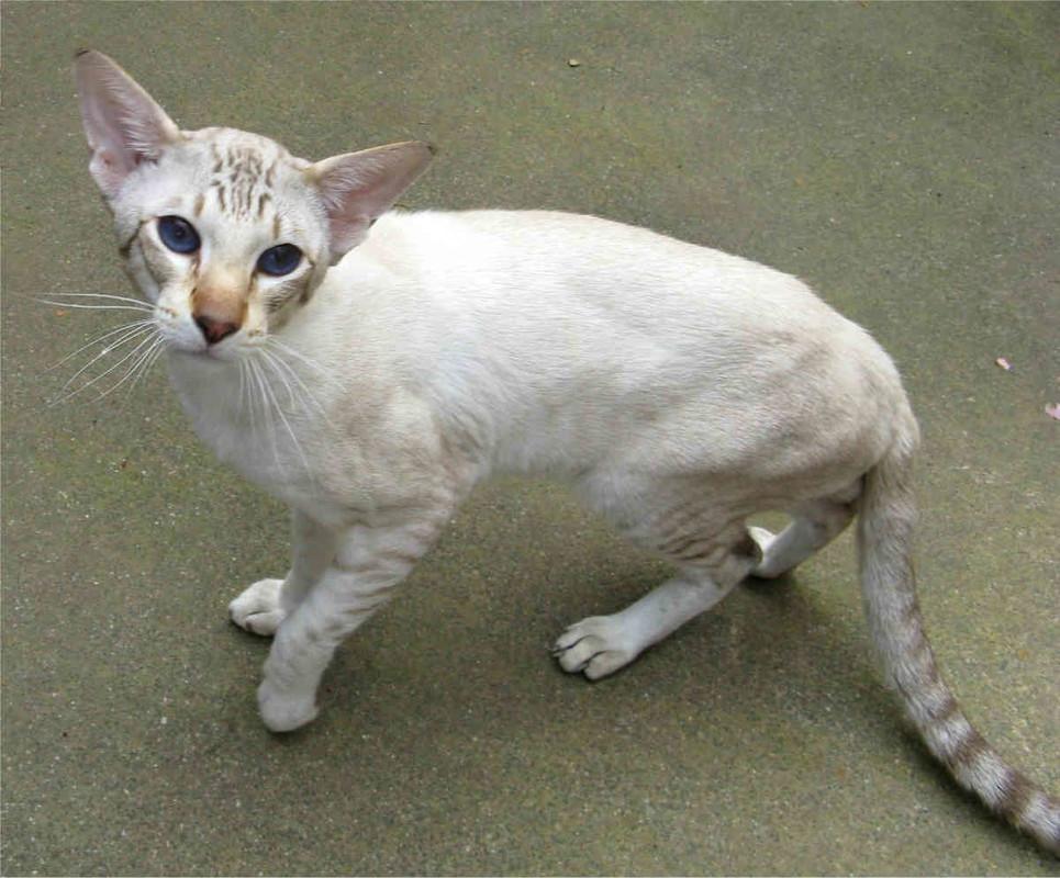 Яванская кошка : содержание дома, фото, купить, видео, цена