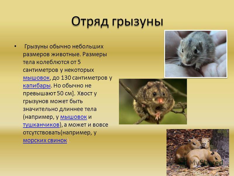 Отряд грызуны - представители млекопитающих грызунов, список с фото | семейство грызунов