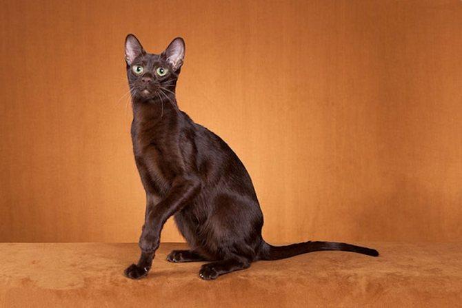 Гавана браун кошка : содержание дома, фото, купить, видео, цена