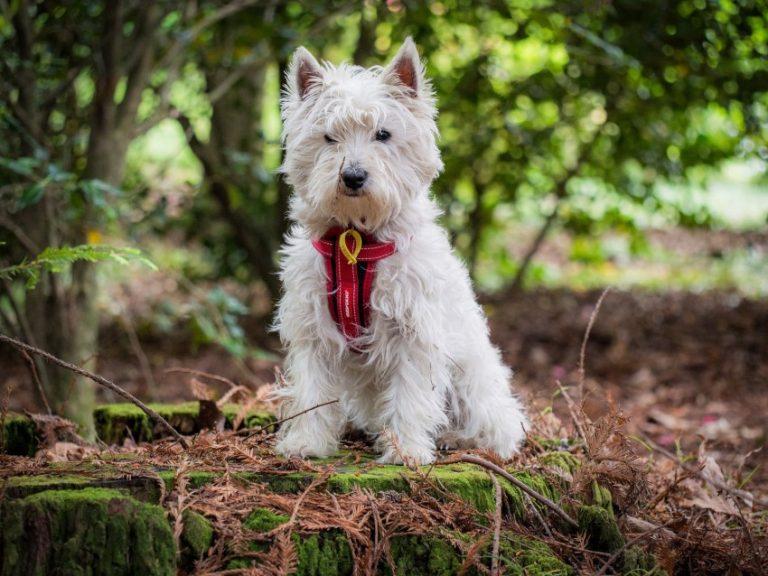 Вест-хайленд-уайт-терьер - описание и характер породы собак, уход и выращивание щенков