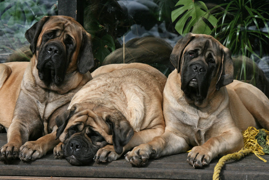 Самые дорогие собаки в мире — субъективный рейтинг   pet7