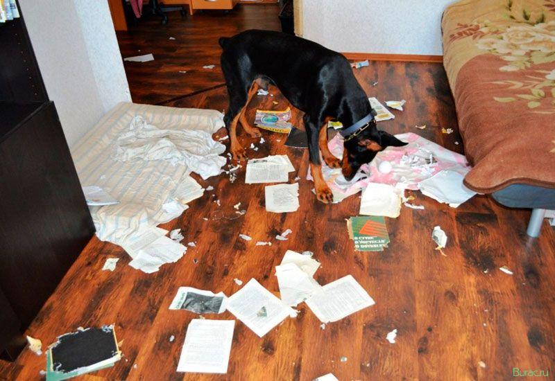 Что делать, если собака начинает скулить, когда остается одна дома?