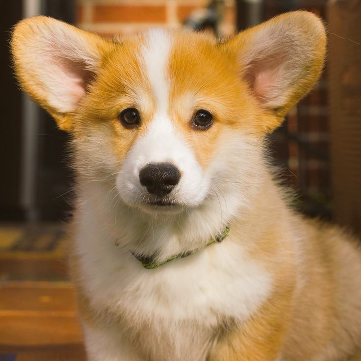 Породы собак с большими и длинными ушами — фото, название, описание