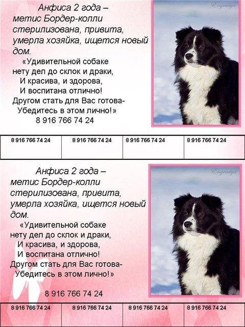 Бордер колли: описание породы, характер, фото, щенки