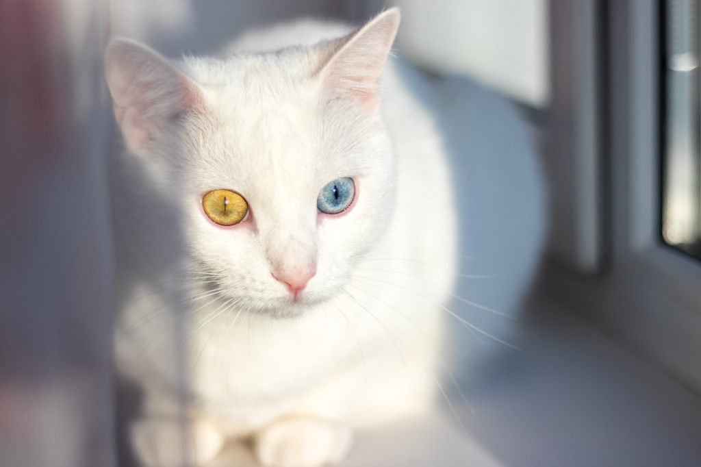 Правда ли, что все белые кошки и коты глухие, только факты