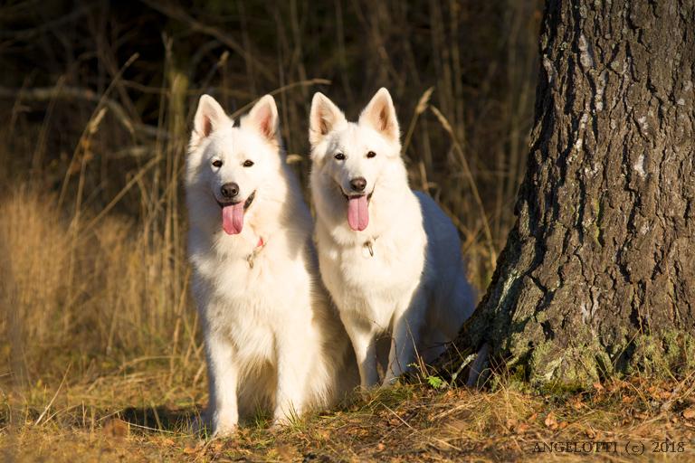История происхождения породы собак белая швейцарская овчарка или бшо.