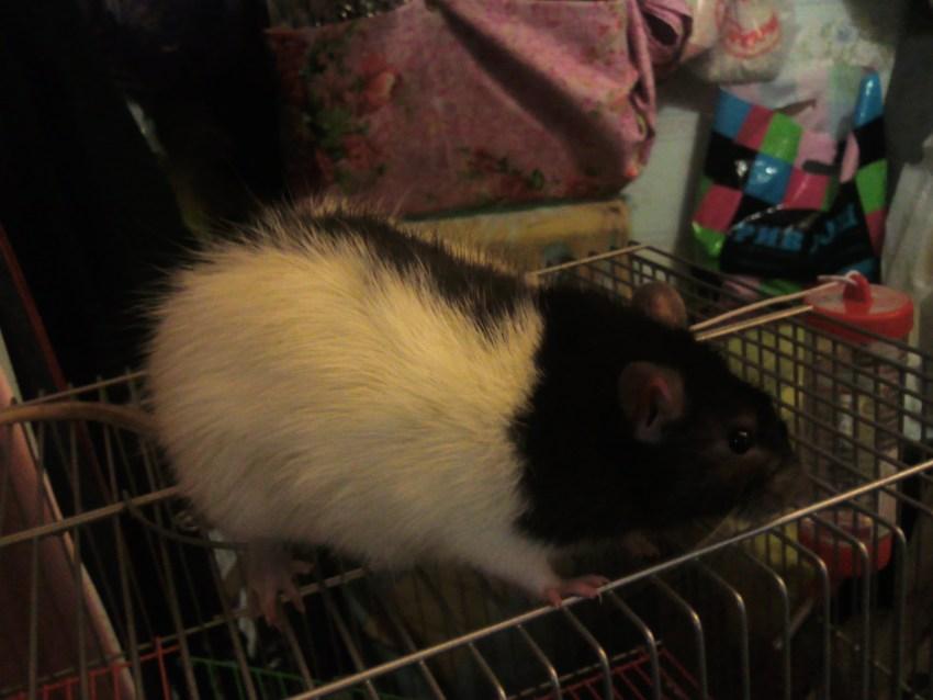 Сколько живут домашние крысы: уход и содержание