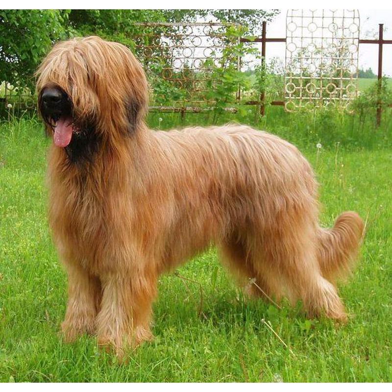 Бриар (42 фото): лохматая порода собак, описание французских овчарок-пастухов. как выглядят щенки пастушьей собаки?