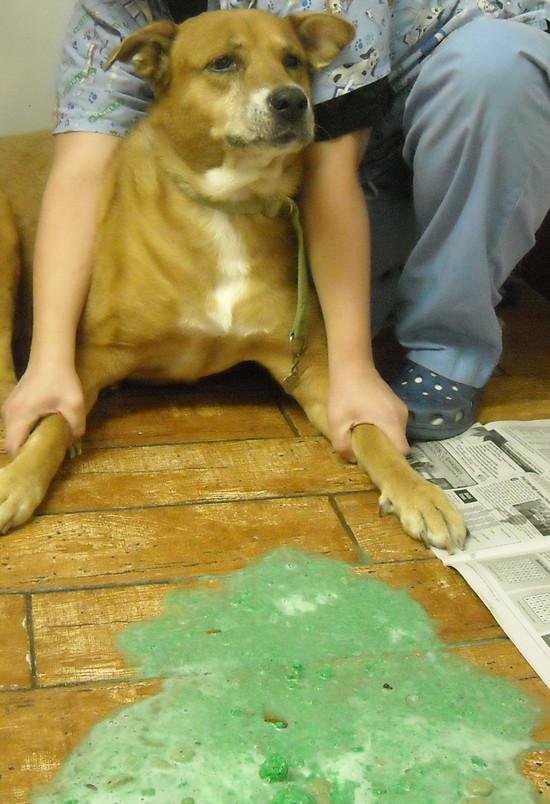 Собаку рвет пеной: почему стоит беспокоиться и что делать. можно ли без ветеринара вылечить рвоту у собак? - автор екатерина данилова - журнал женское мнение