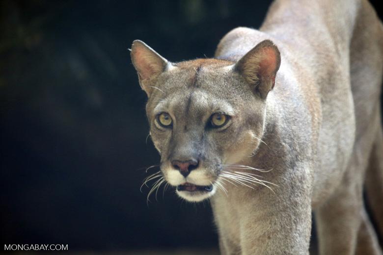 Кошка саванна: стандарт породы с фото, характер животного и особенности ухода, стоимость котят