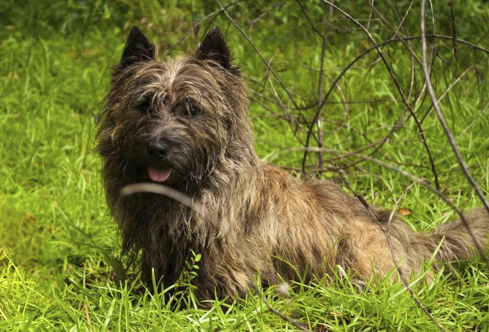 Основные сведения о скай-терьерах: внешний вид, характер собаки, содержание и уход