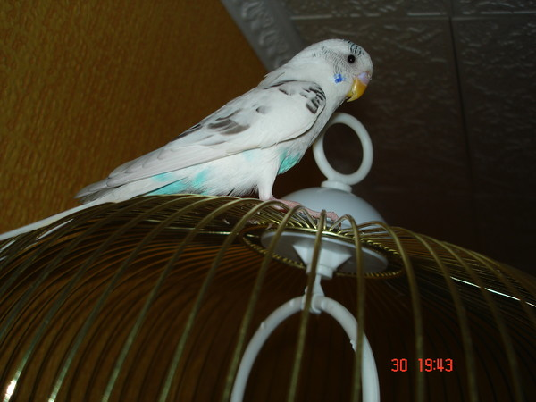 Как приручить волнистого попугая к рукам