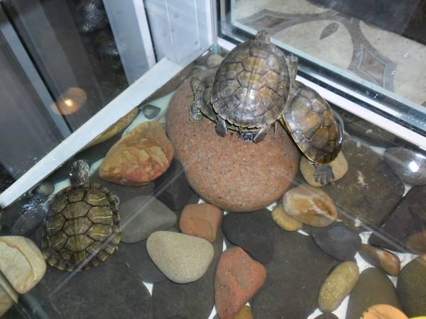 Спячка красноухой черепахи: признаки, как вывести из спячки