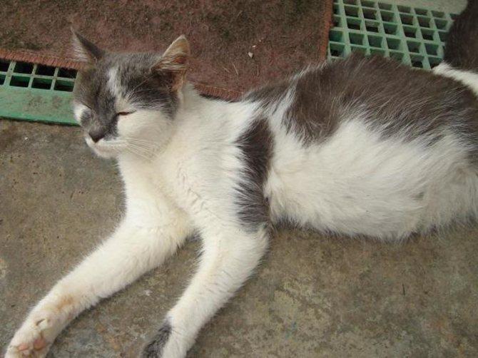 Почему кошка часто дышит животом - частое дыхание у кошки