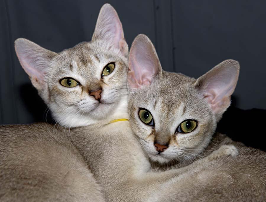 Сингапурская кошка: ( 120 фото) цена, характеристика и стандарты породы, уход, интересные факты и особенности породы