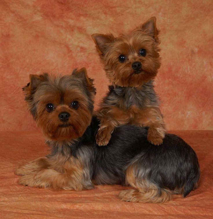 Мини йоркширский терьер – характеристика породы: внешность собаки, поведение, содержание и уход
