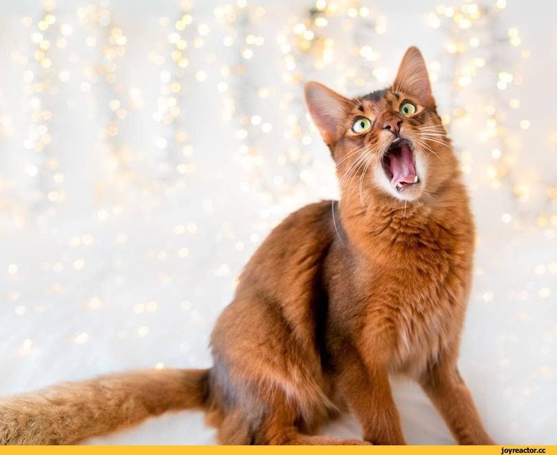 Сомалийская кошка (сомали) — описание породы кошек
