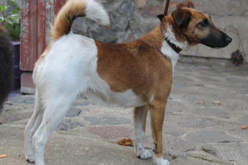 Греческая овчарка: описание породы, характер, фото. греческая порода собак