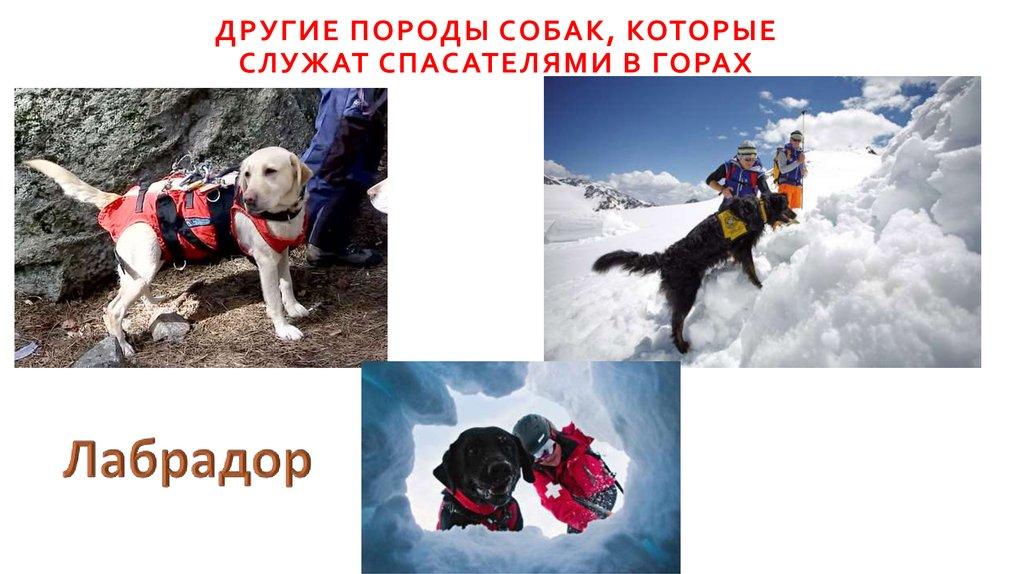 Какие породы собак служат в мчс: особенности собак-спасателей и их функции