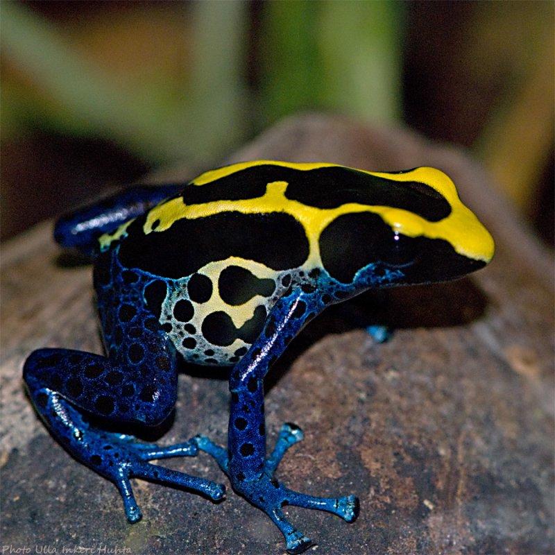 Лягушка древолаз пятнистый, голубой, золотой, красный