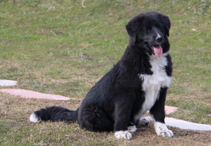 Немецкая овчарка - описание породы, характер, фото, цена щенка