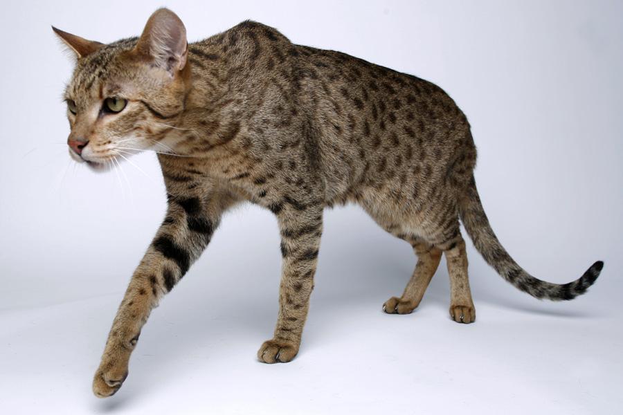 Аравийский мау: описание породы, фото котят и взрослых кошек, правильный уход и рекомендованные корма