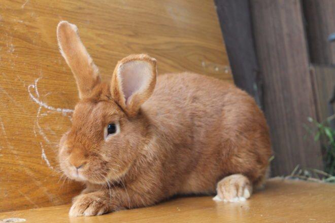 Бургундские кролики: описание и особенности разновидности