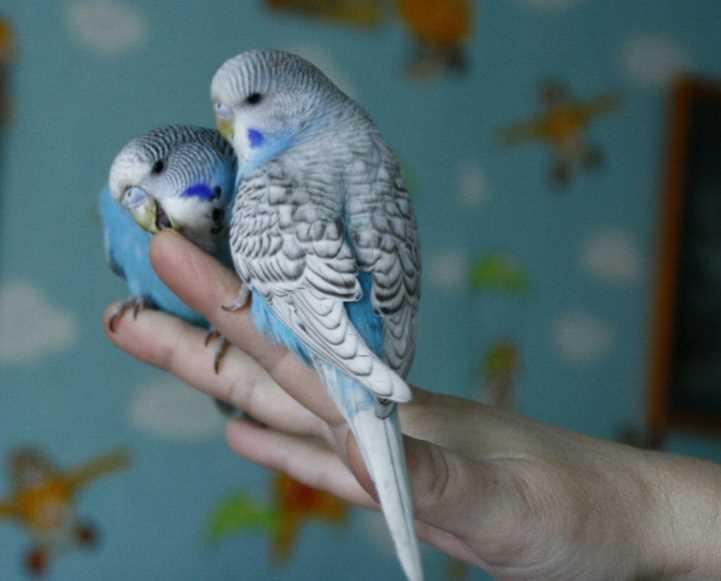 Самый легкий способ приручить волнистого попугая к рукам хозяина