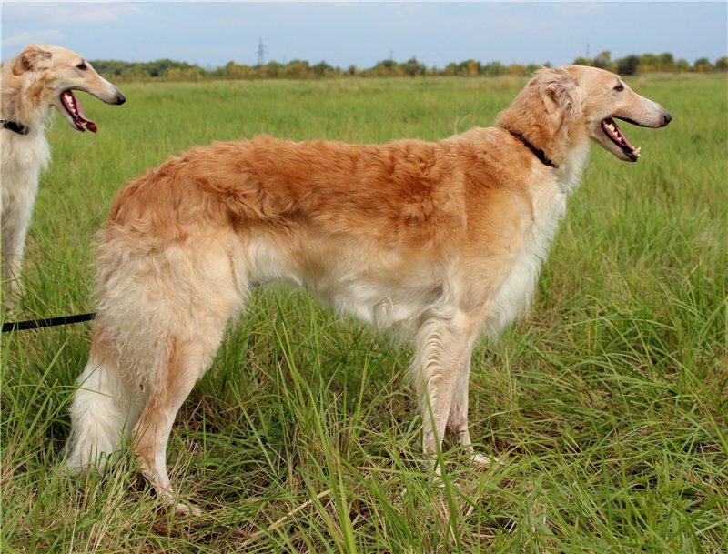 Русская псовая борзая: описание породы, стандарт, цена