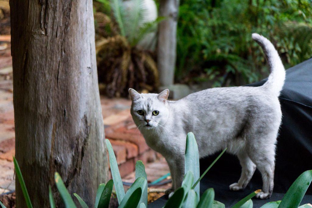 Принцесса из сточной канавы — сингапурская кошка