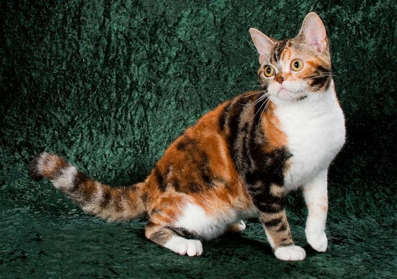 Американская жесткошёрстная кошка : содержание дома, фото, купить, видео, цена