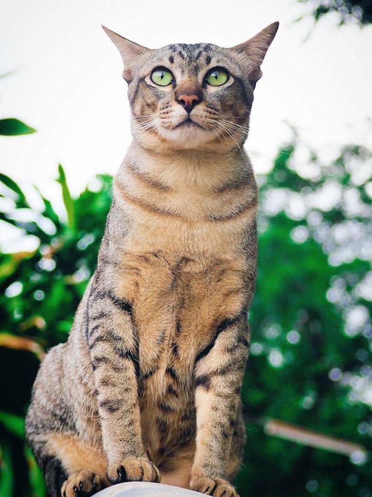 Описание бразильской короткошерстной кошки с фото согласно стандарту породы, характер животного и правила содержания